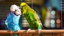 Budgie Courtship Ritual   Pets: Wild At Heart   BBC Earth
