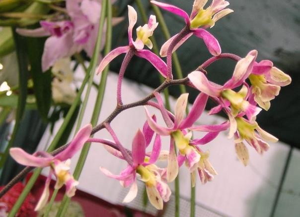 Орхидея энциклия