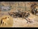 Chuyện gì Xảy Ra Cuộc Gặp Gỡ Kịch Tính Nhất Động Vật Hổ ,Sư tử , báo dốm vs lợn rừng Tại cái Hố