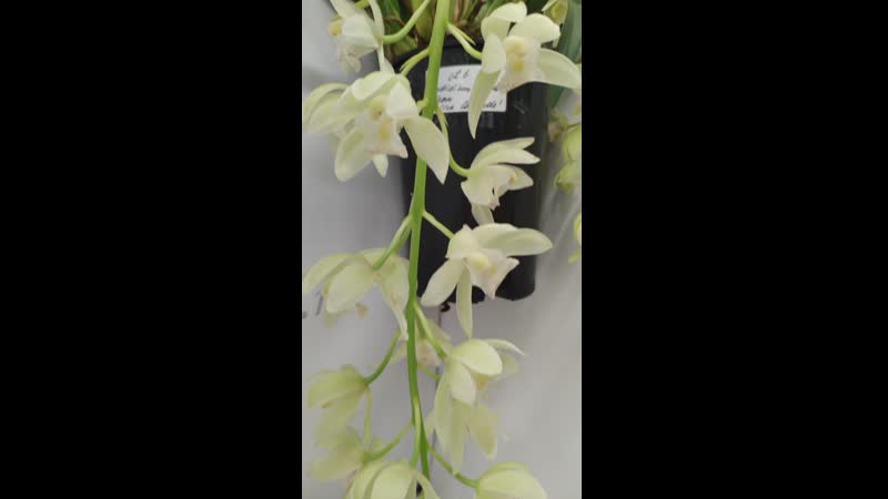 Орхидея Cymbidium Sarah Jean 'Ice Cascade'
