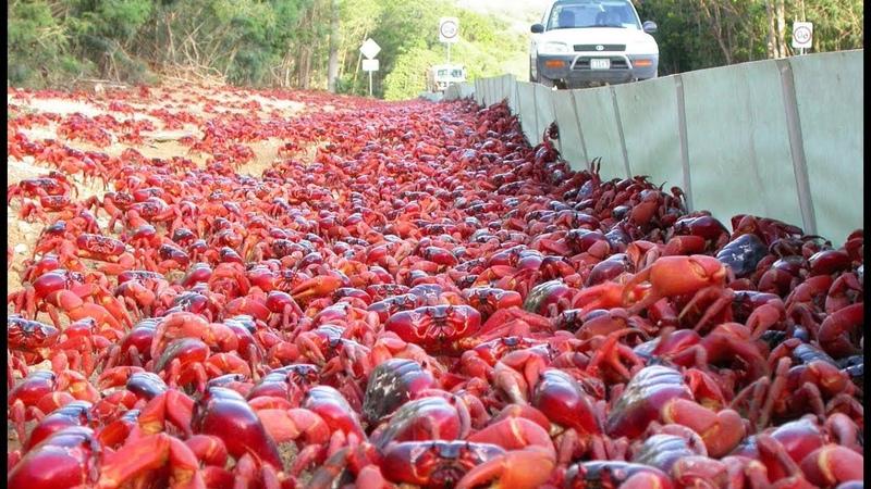 La fantastique migration des crabes rouges ZAPPING SAUVAGE