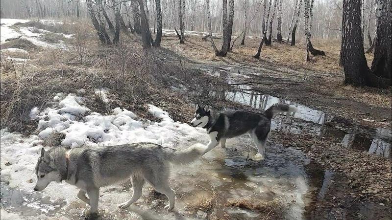 Собакам карантин не писан 🐺🐺🐾🐾🌲Quarantine is harmful to dogs