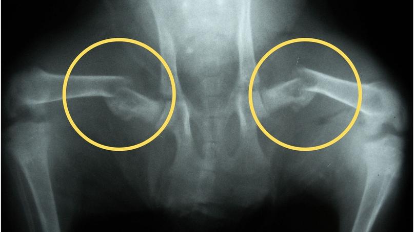 Переломы различных костей у животных при алиментарном гиперпаратиреозе