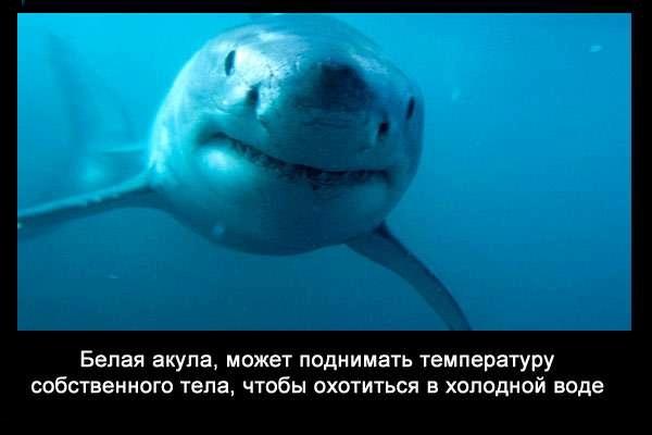 валтея - Интересные факты о акулах / Хищники морей.(Видео. Фото) XZI-_Deahxg