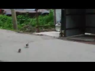Крысы в городе