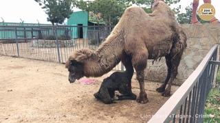 Рождение верблюжонка. Тайган   Camel Giving Birth. Taigan