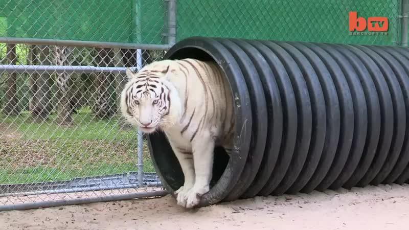Тигр, самая большая кошка