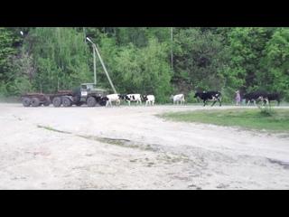 Урал лесовоз врезается в стадо коров new
