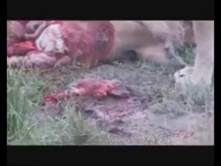 ЖЕСТЬ. львы едят беременную бородавочника. дикий мир и поведение животных в нем.