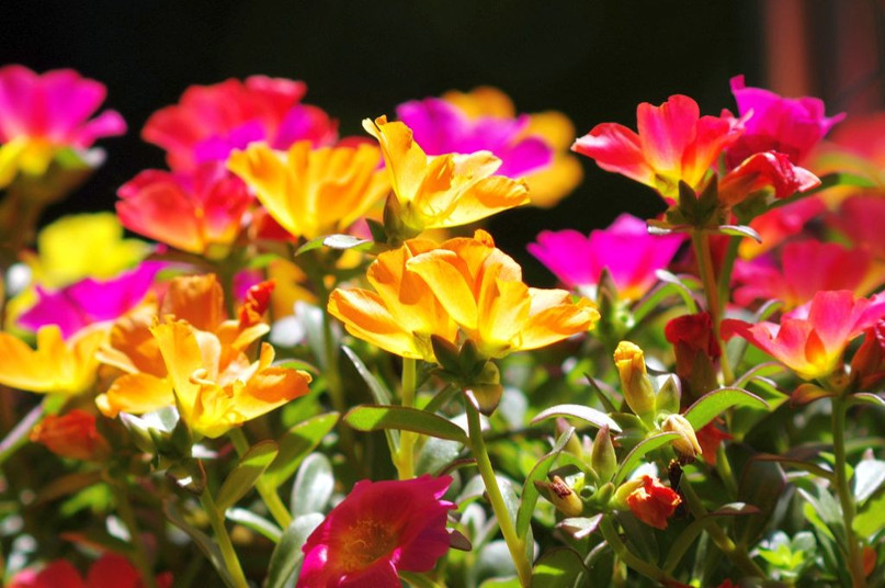 Портулак Декоративный – роскошный цветущий ковер для вашего сада и клумб, изображение №5