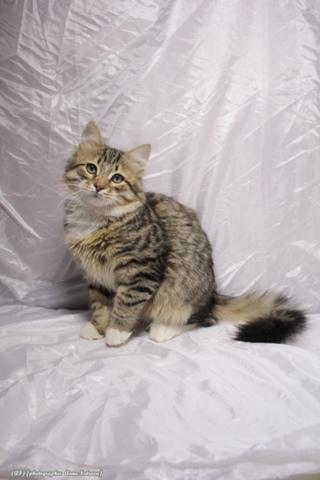 Сибирские котята - продажа