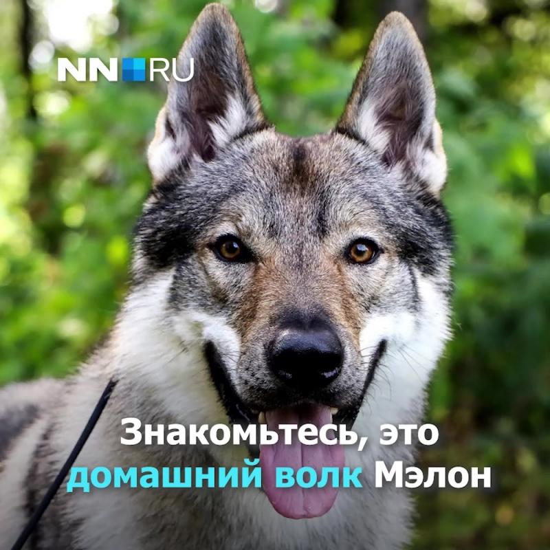 Животное редкой породы живёт в семье нижегородского кинолога