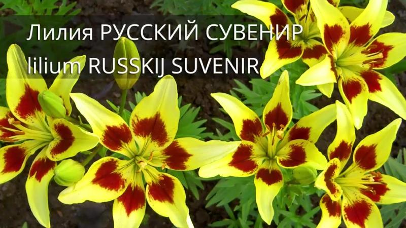 Лилия Русский Сувенир    Lilium Russkij Suvenir