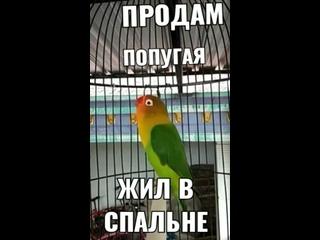 продам в попугая жил в спальне