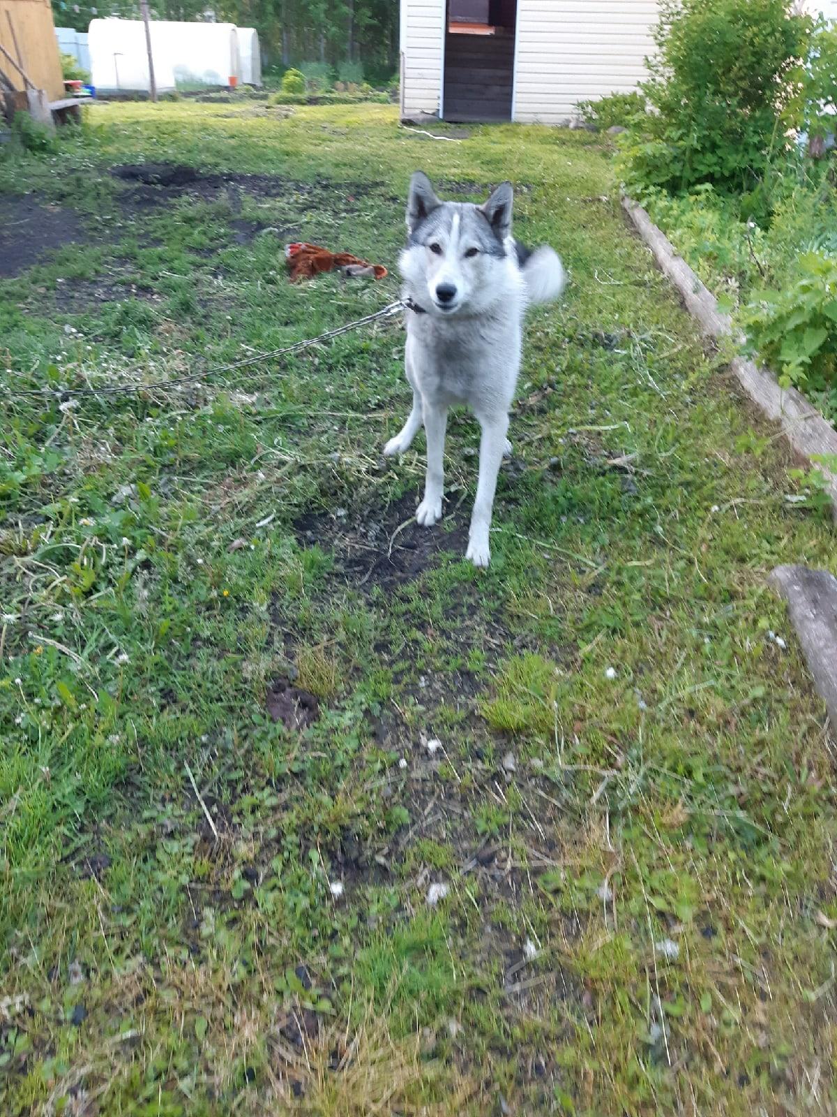 Пропала собака.7 января сорвался с цепи, до