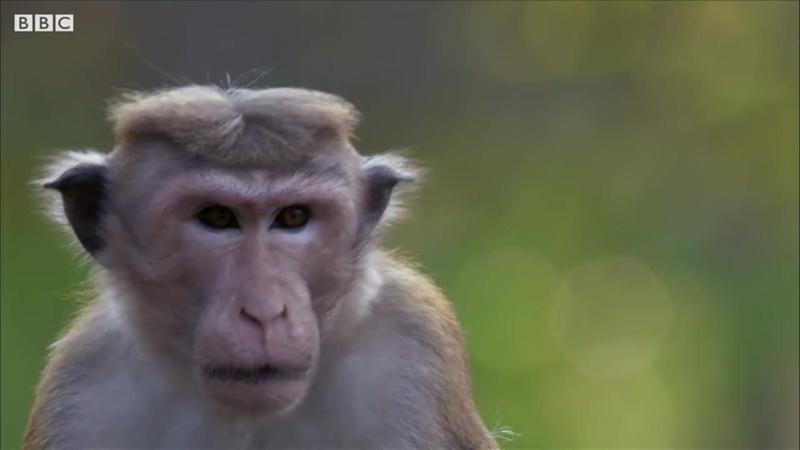 Macaque Monkeys at War BBC Earth