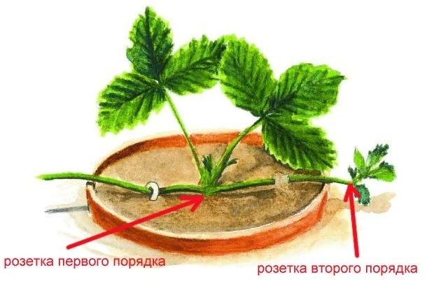 Выращивание ремонтантной клубники, изображение №5