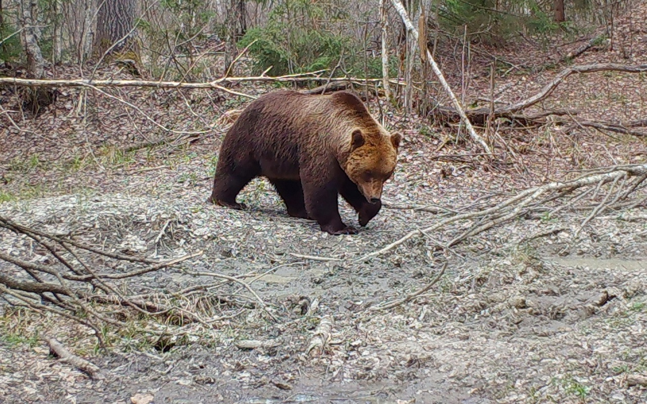 В брянском заповеднике рассказали о драках между медведями