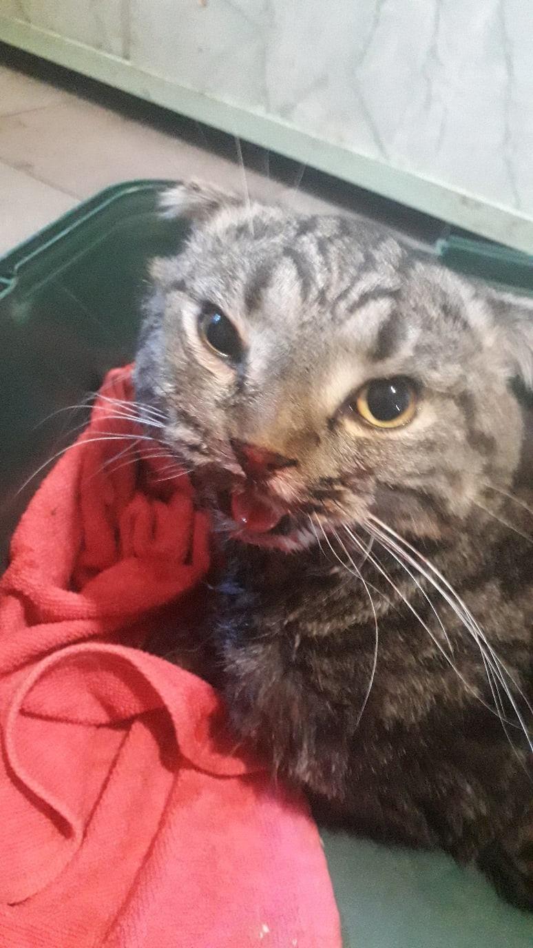 Срочно!!!!!Найден кот/кошка,шотландский вислоушка,возле 29/10.Чистый,похоже выпал из окна.Изо