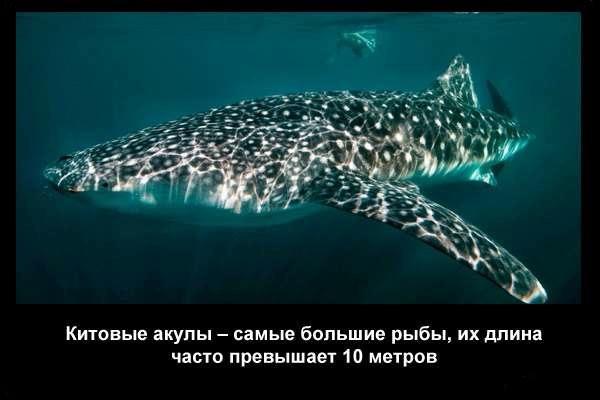 валтея - Интересные факты о акулах / Хищники морей.(Видео. Фото) W9s9H052G6Q