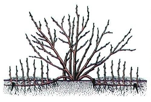 Бабушкина ягода - крыжовник УходСажают крыжовник весной, но еще лучше осенью. Расстояние между растениями 1,5 м. Размер посадочной ямы 50 см диаметр и 40 см глубины. Яму заправляют специально