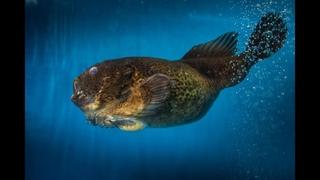 Удивительный подводный мир: рыба-лягушка