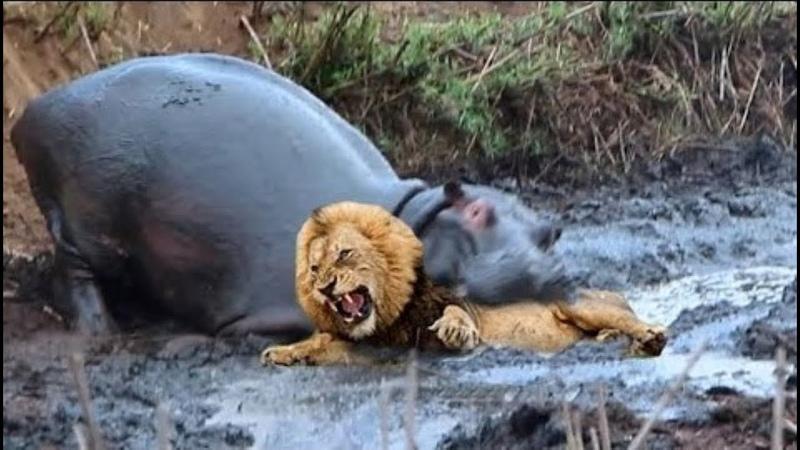 Сумасшедшие Битвы Диких Животных Снятые на Камеру 2
